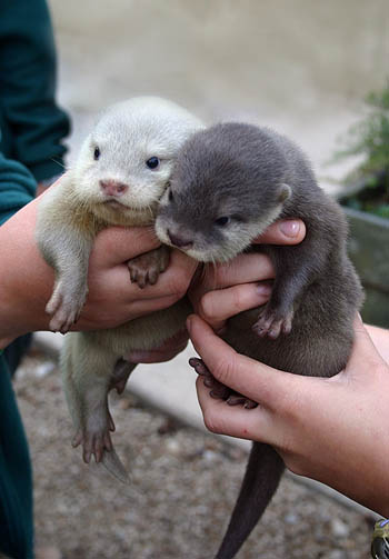 baby-otters