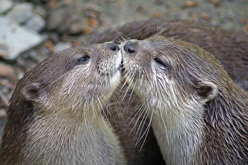 otter-kiss