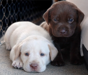 2-lab-puppies1