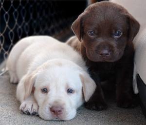 2-lab-puppies1