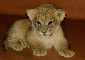 cute-lion