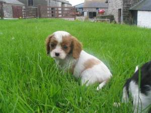 cute-puppy