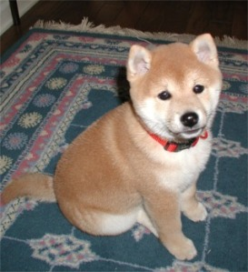 shiba-puppy