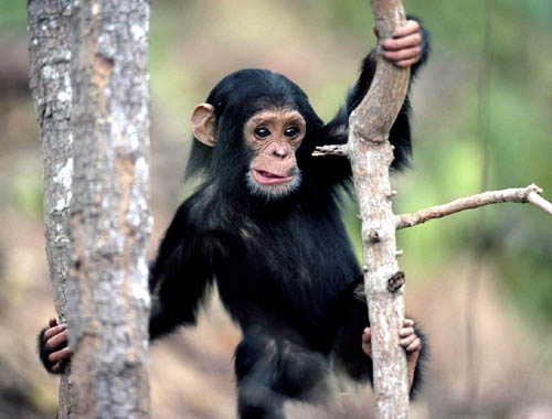 cute chimp