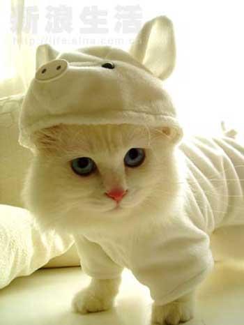 cat pig