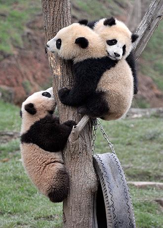 panda cubs