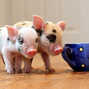 GR-TEA-CUP-PIGS005.jpg